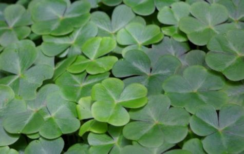 Why are Shamrocks Lucky?