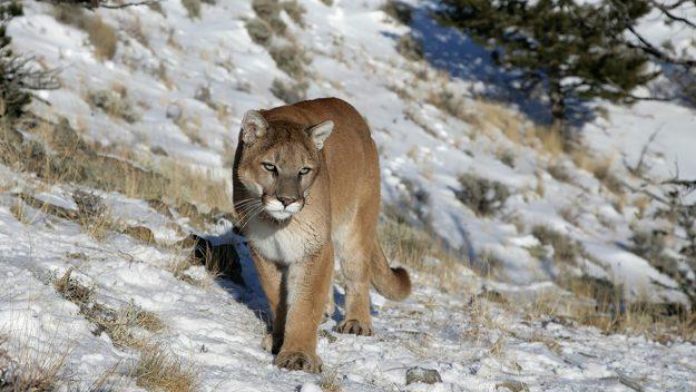 Colorado Boy Survives Mountain Lion Attack