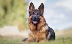 Can dogs really smell Covid-19?